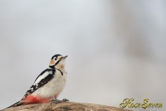 Great Spotted Woodpecker (ezo akagera)