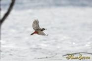 トウモロコシ エゾアカゲラ Great Spotted Woodpecker