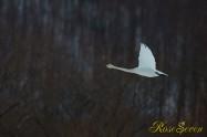 Whooper Swan オオハクチョウ