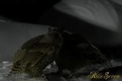 シマフクロウ 縄張り争い