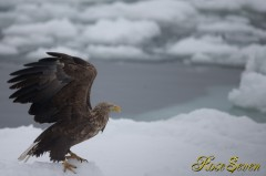 オジロワシ (White-tailed eagle) Canon Eos-1D X + EF600 F4L IS II USM