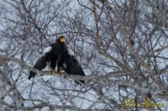 ずぶ濡れ オオワシ (Steller's sea eagle)
