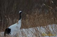 Japanese crane (タンチョウ)