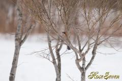 ミヤマカケス Eurasian Jay (2013/02)