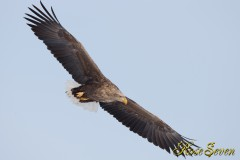 オジロワシ White-tailed Eagle Canon Eos-1D X EF600 F4L IS II USM ※M-Mode F5.6 ISO320 SS1/1600