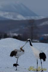 タンチョウ 親子 (Red-crowned Crane )
