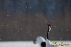 タンチョウ Red-crowned Crane Canon Eos-1D X EF600 F4L IS II USM M-Mode ISO200 F5.6 SS1/1250