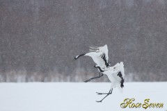 タンチョウ Red-crowned Crane Canon Eos-1D X EF600 F4L IS II USM