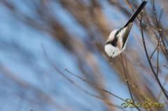 シマエナガ 羽を使わなく落下移動