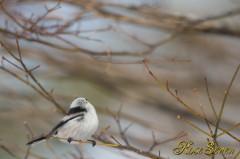 シマエナガ 内側には黒い羽毛