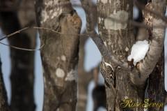 キタキバシリ Eurasian Treecreeper (2013/02)