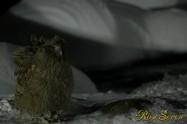シマフクロウ Fish Owl