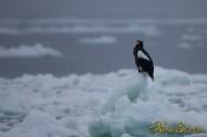 オオワシ (Steller's sea eagle)