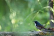 コルリ Siberian blue robin