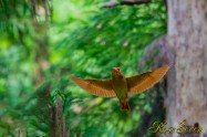 アカショウビン Ruddy Kingfisher 巣作りは雌雄交代で行われる