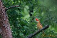 アカショウビン 鳴く(大声) Ruddy Kingfisher