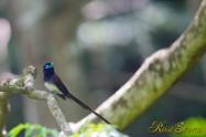 サンコウチョウ Japanese Paradise Flycatcher