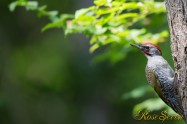 アオゲラ Japanese Green Woodpecker