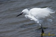 コサギ Little egret