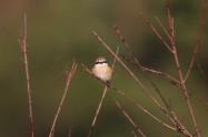 モズ Bull-headed Shrike