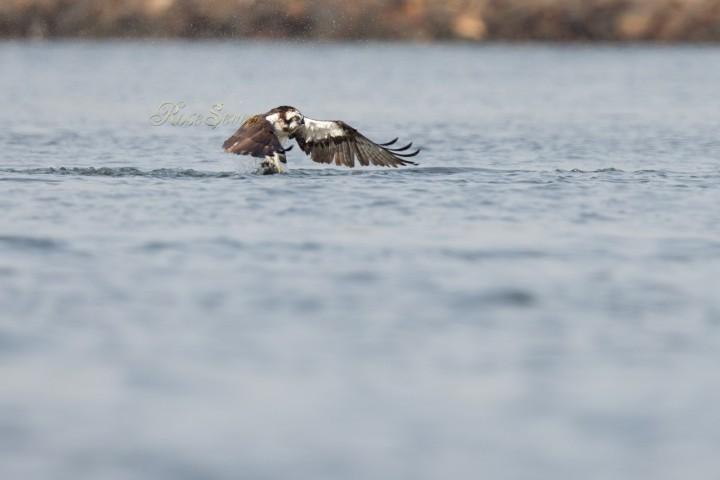 Osprey ミサゴ