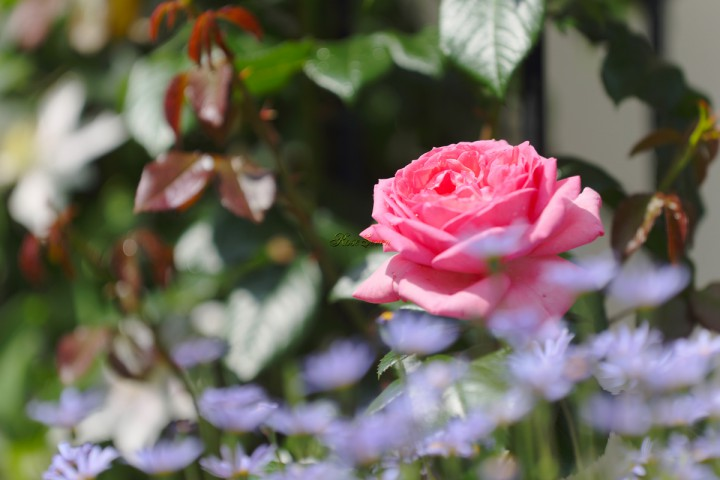 ※ラ ローズ ドゥ モリナール La Rose de Molinard ※HDR