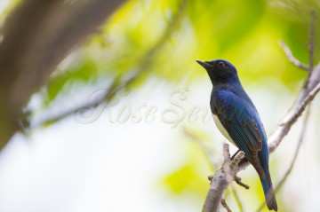 Blue-and-White Flycatcher