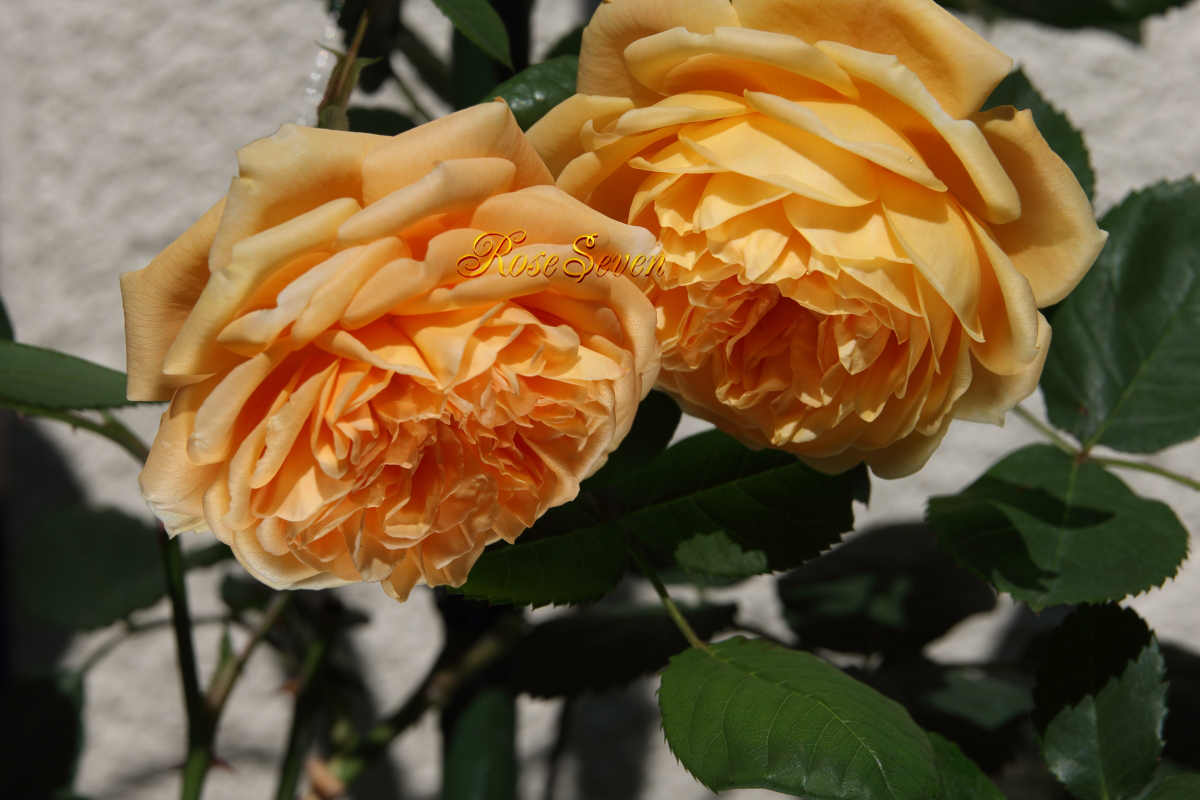 CrownPrincess Margareta