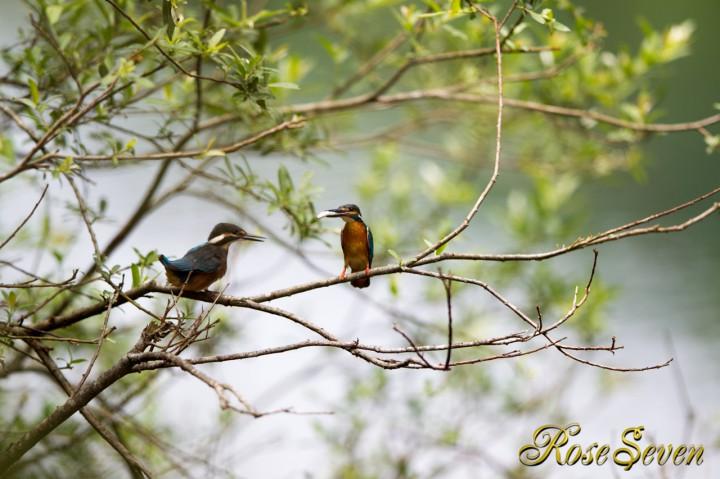幼鳥カワセミ