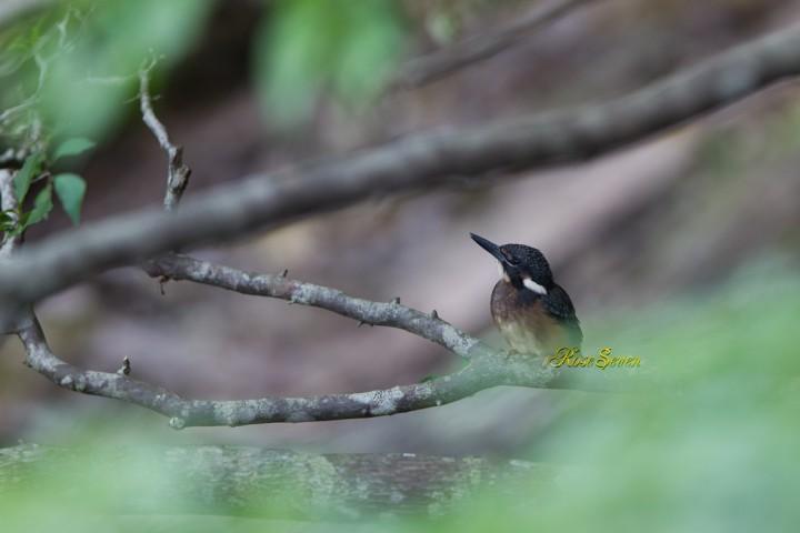 カワセミ Common Kingfisher