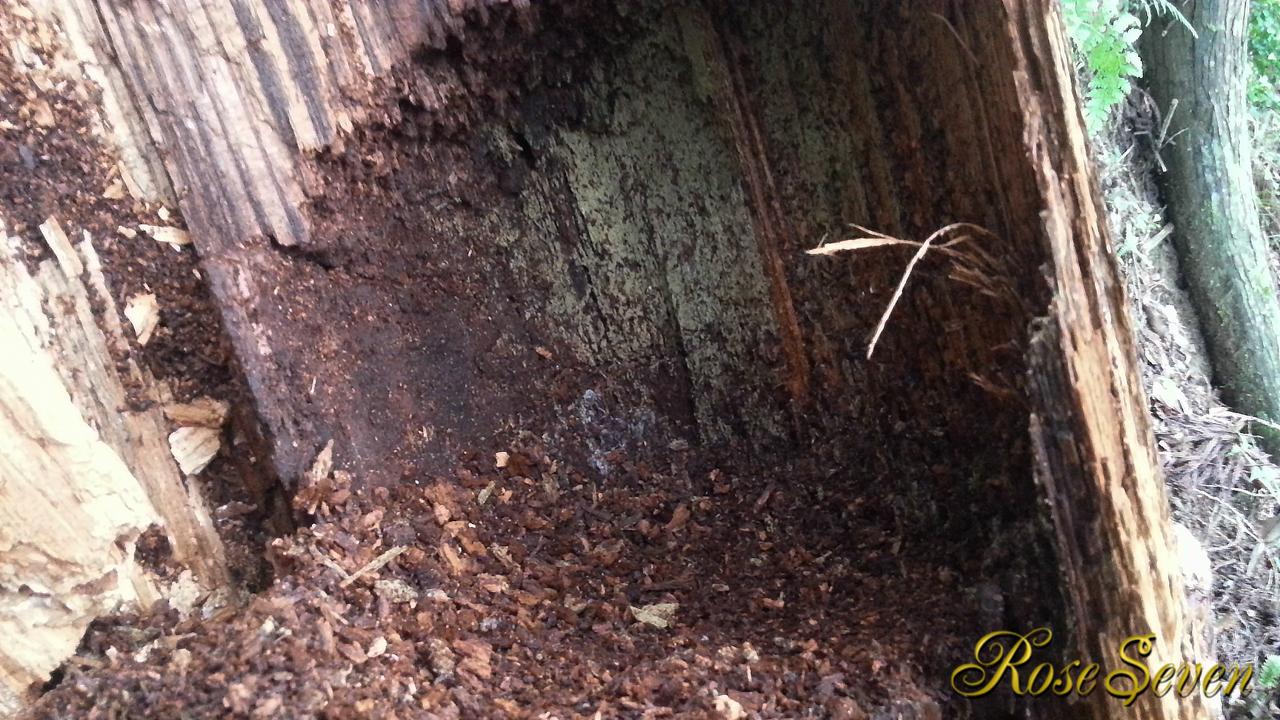 記録用 アカショウビン巣の内部 (6月末倒木)