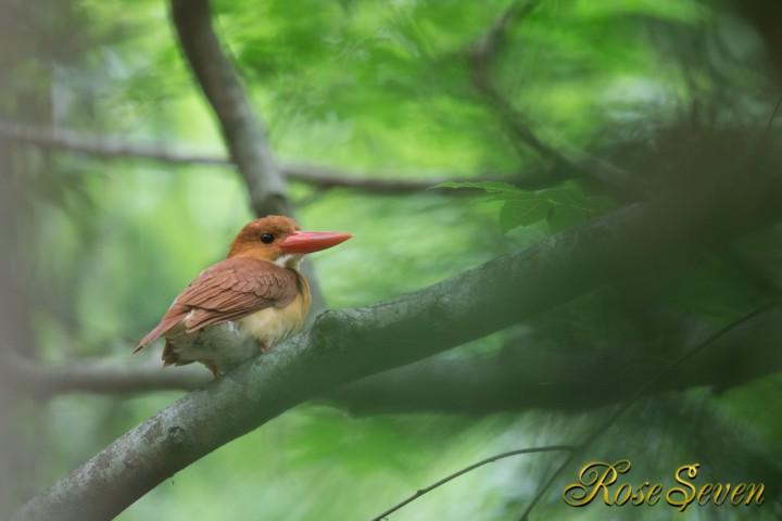 産卵前 アカショウビン メス Ruddy Kingfisher