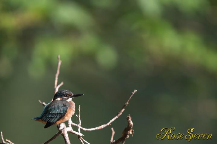 Common Kingfisher カワセミ幼鳥