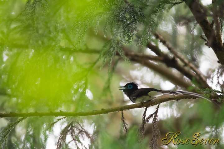 Japanese Paradise Flycatcher サンコウチョウ