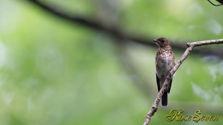 オオルリ幼鳥 Blue-and-White Flycatche(Young)