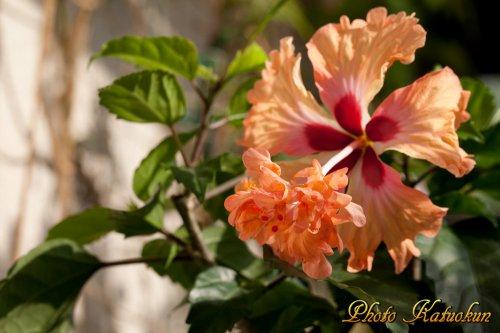 ハイビスカス オレンジフラミンゴ
