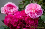 F & G Roses