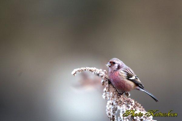 ピンクの鳥さん ベニマシコ