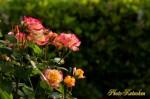 Rose of morning