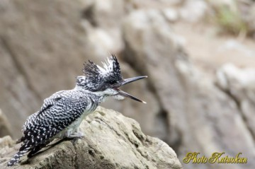 Crested Kingfisher (EF800 F5.6L)