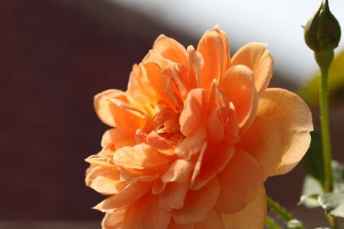 2番花 バラバラ