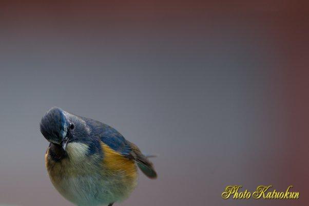 近場の探子鳥