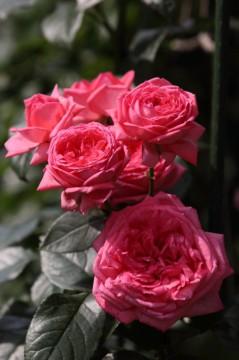 房咲きになり 香りは抜群です  ※EF70-200 F2.8L IS II USM