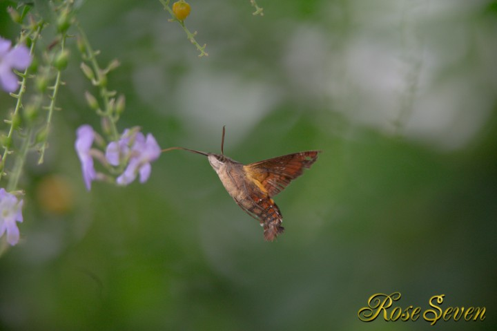 ホシホウジャク Hummingbird Hawk Moth