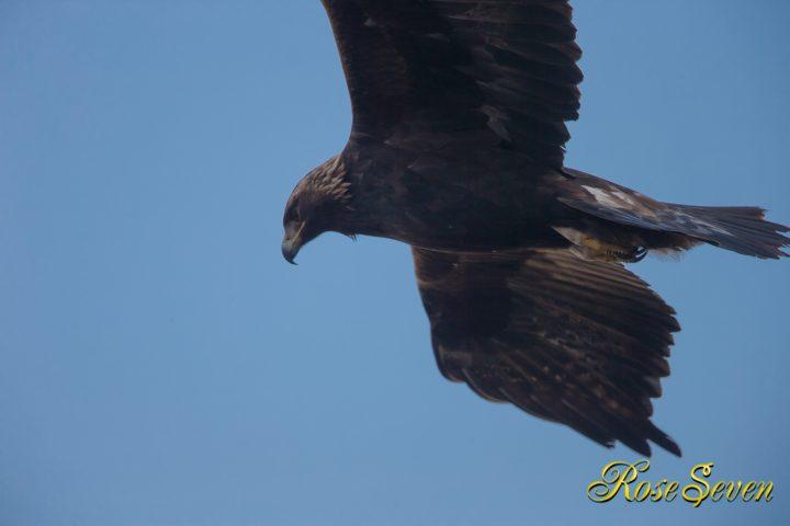 イヌワシ Golden eagle