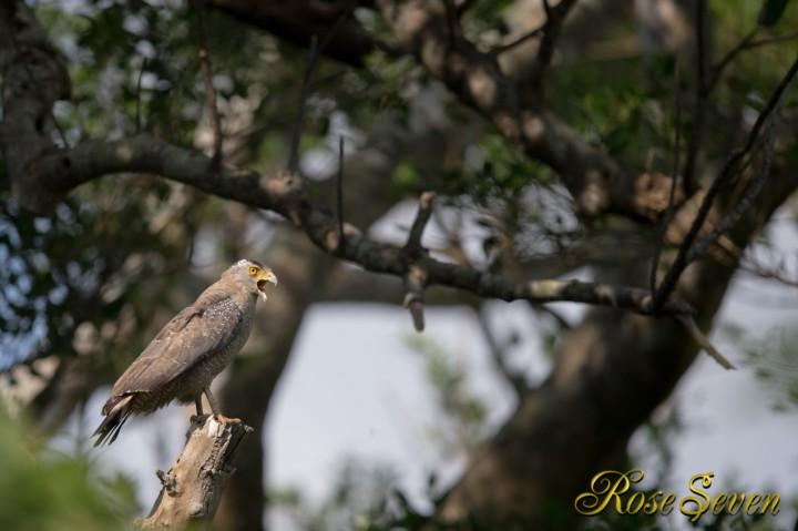 カンムリワシ Crested serpent eagle