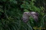 カンムリワシ 幼鳥