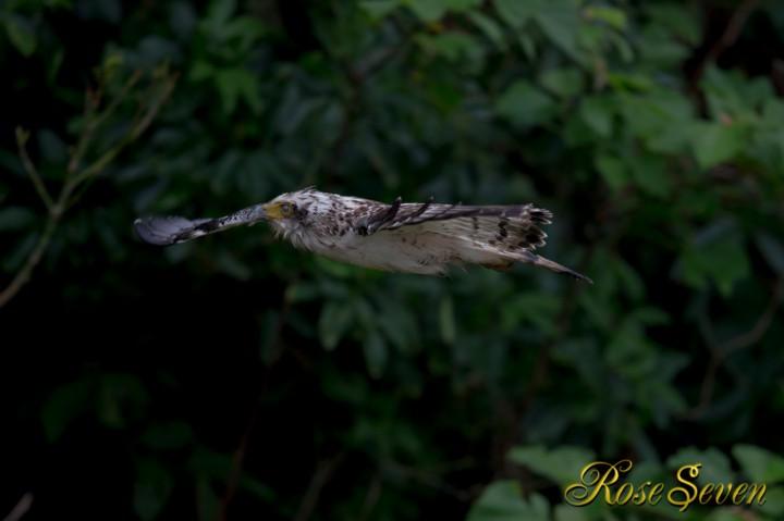 カンムリワシ幼鳥 瞬膜
