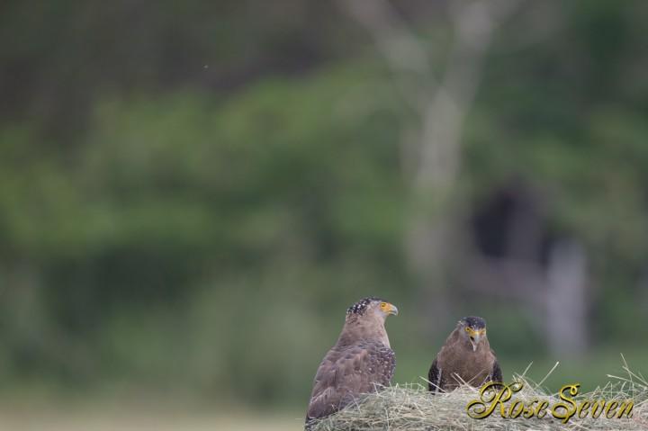 カンムリワシ Crested serpen