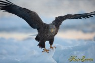 オジロワシ White-tailed eagle